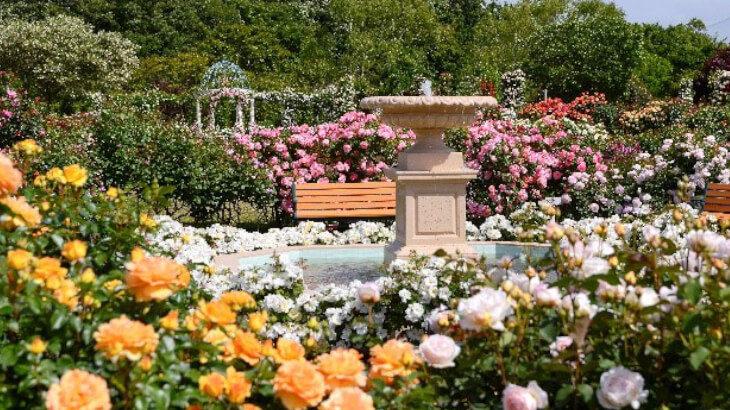 京成バラ園で、新作のバラの香りに包まれて♡『オータムローズパーティ2020』で極上のひとときを